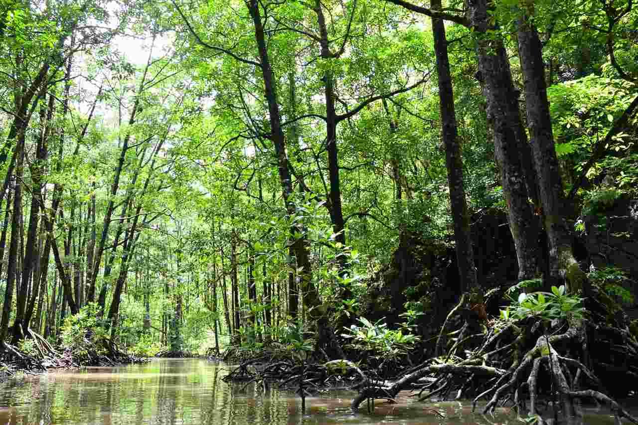 mangroveの森の写真